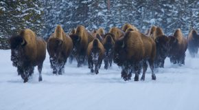 Bison and Wolves: Is Culling Once-Threatened Species Justified?