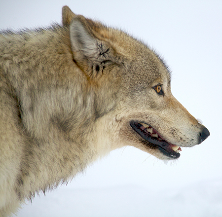 gray wolves should be removed from St paul, minn — sen amy klobuchar, d-minn, says gray wolves should be removed from the endangered species list the us fish and wildlife service said last week that the population of gray wolves in minnesota, michigan and wisconsin has recovered enough to be removed from federal protection.