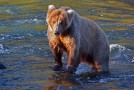 Grizzly Bear Travels: A Photo Essay