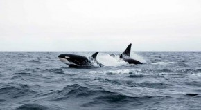 Orcas Feed on Beluga Whales near Churchill