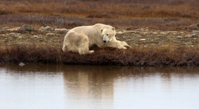 Photos from a Polar Bear Travel Season