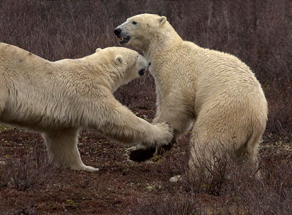 Polar bears generally lead solitary lives, with the exception of mothers raising cubs and breeding pairs. However, some adult and subadult males do form friendships which can last weeks or even years. They may travel, feed, and play-fight together. ©Candice Gaukel Andrews