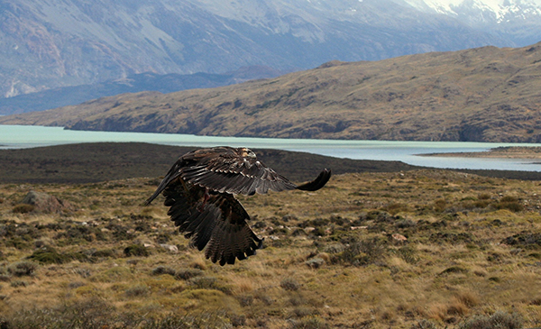 Flying bird in Patagonia