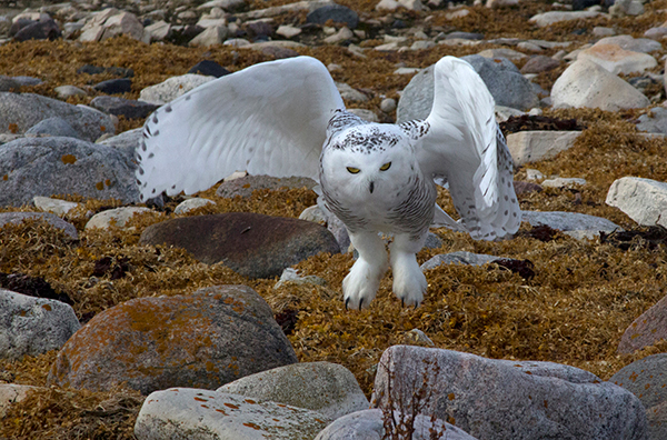 Snowy owl in Churchill