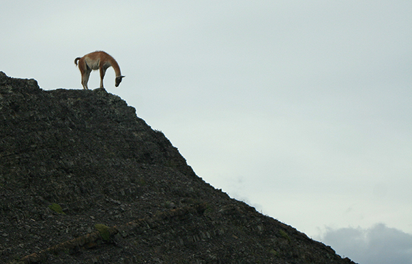 Guanaco on mountaintop