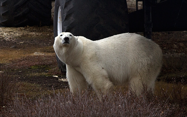 Polar bear and big tire