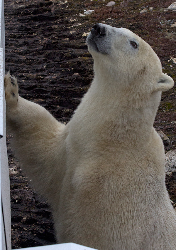 Close-up of standing polar bear