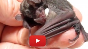 Video of Lil' Drac: An Orphaned Baby Bat