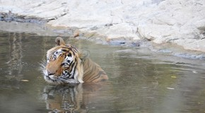 Counting Wild Tigers by 2016: Will It Help Save Them?