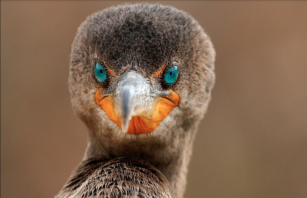 the piercing blue teal eyes of a cormorant on the coast of Seminole, Florida