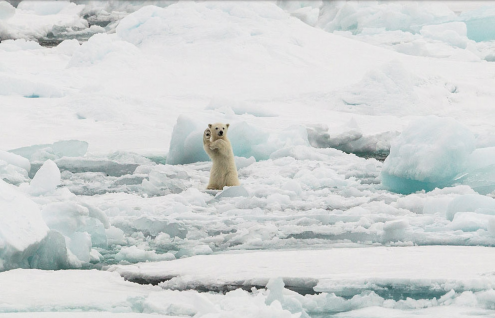 polar bear cub waves to the photographer on a piece on ice in Svalbard