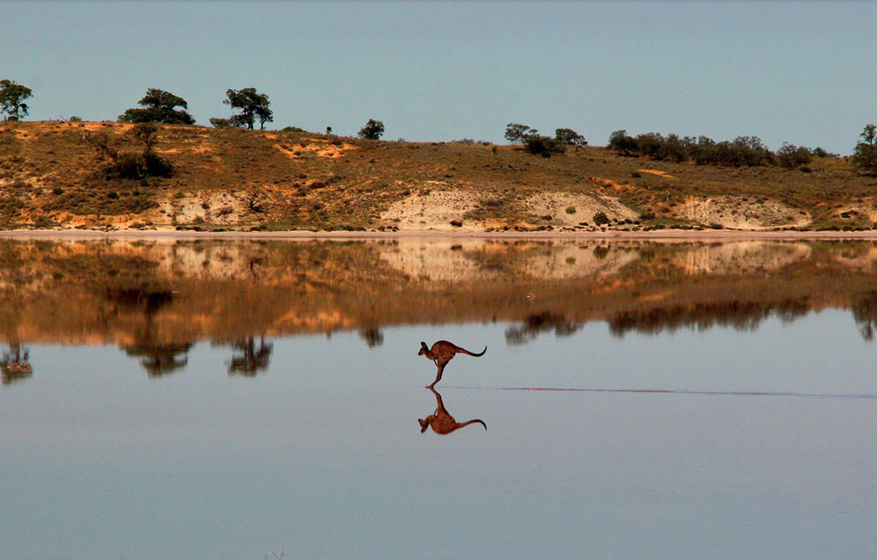 a western grey kangaroo hops across the the salt lakes of the Mallee Region of Victoria in Murray Sunset National Park in Australia reflecting in the mirror-like surface