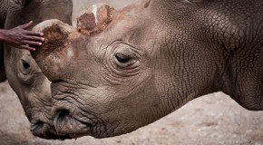 One of Seven Remaining Northern White Rhinos Dies in Kenya