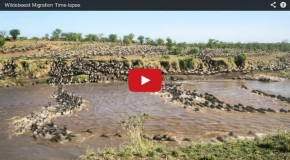 Video of the Week: The Most Amazing Migration Ever Caught On Tape!
