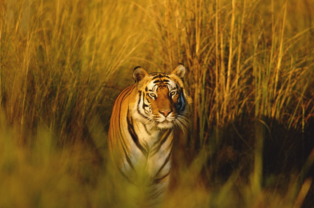 Our new itinerary seeks out the highest densities of bengal tigers. Photo by Francois Savigny/WWF-Canon.