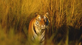 New in 2015: More Tigers with Fewer Crowds in India