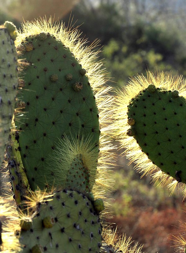 In the Galápagos Islands, species of endemic prickly pear cactus (Opuntia galapageia) are one of the principal sources of food for animals occupying the arid lowlands. Land iguanas and tortoises eat the pads; doves, iguanas, and mockingbirds eat the fruit; and finches eat the flowers, fruits and seeds, and obtain water from the pads. ©Candice Gaukel Andrews