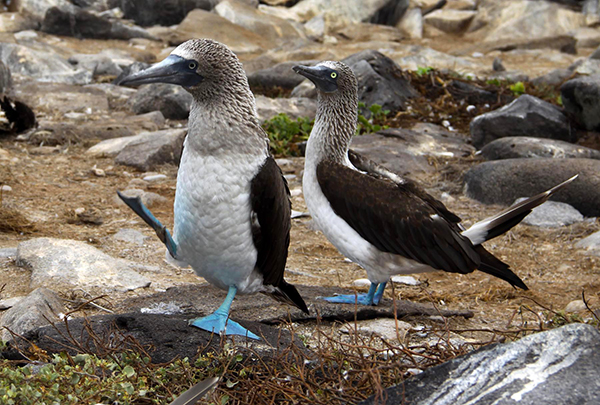 Male blue-footed boobies enjoy showing off their feet during mating rituals, often going into a high-stepping dance. Females seem to think that the bluer the feet, the more attractive the mate. ©Candice Gaukel Andrews