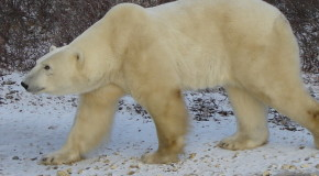 Ode to the Land of the Polar Bear