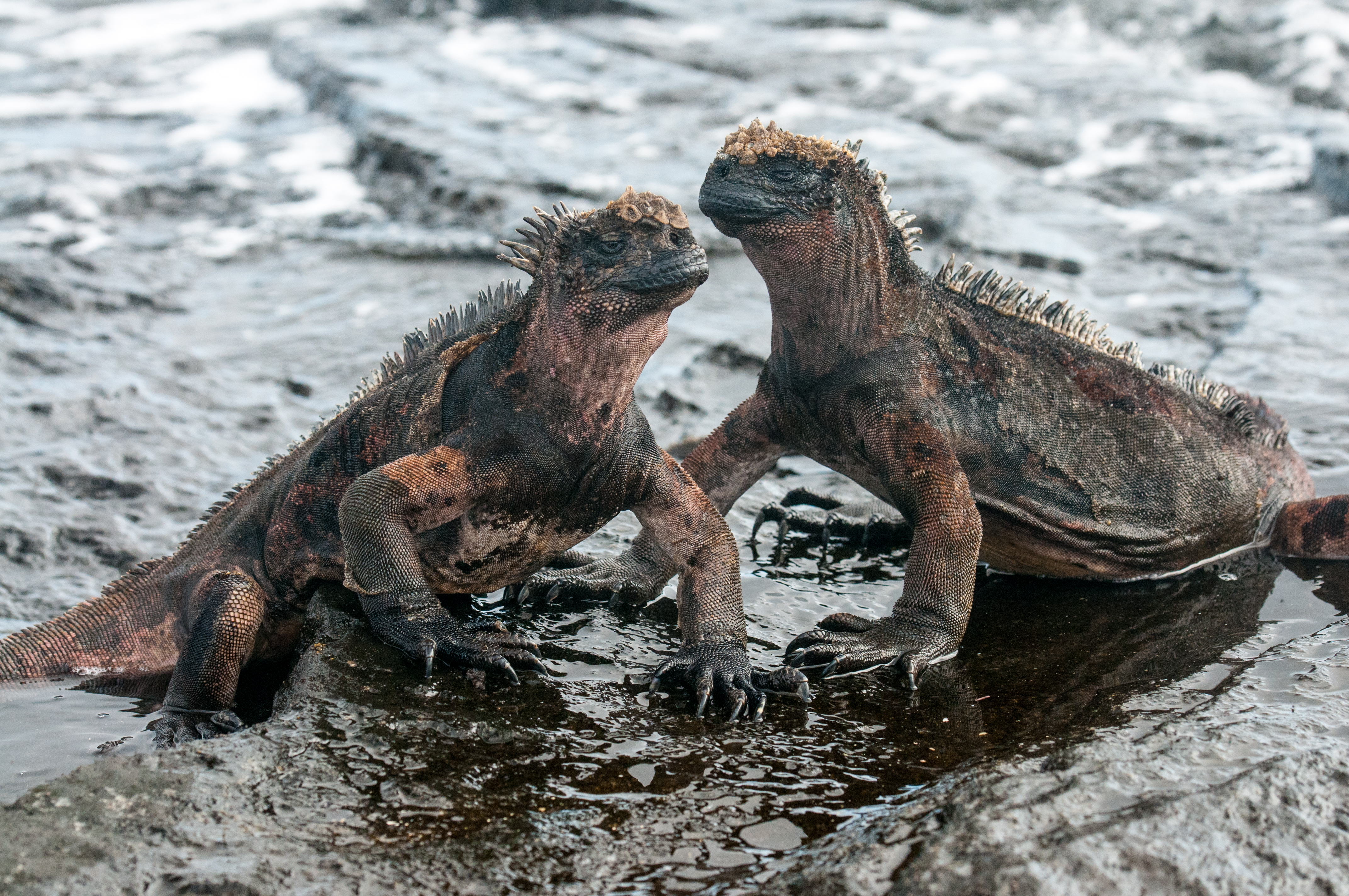 The marine iguana is the only species of iguana that has evolved to feed underwater on algae and seaweed. © WWF-US/Rachel Kramer
