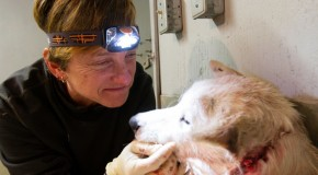 Travelers rescue injured sled dog: Trauma surgeon in Nat Hab group saves dog's life in makeshift 'clinic'
