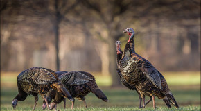 A Tale of Two Turkeys: the North American Bird and a Eurasian Country