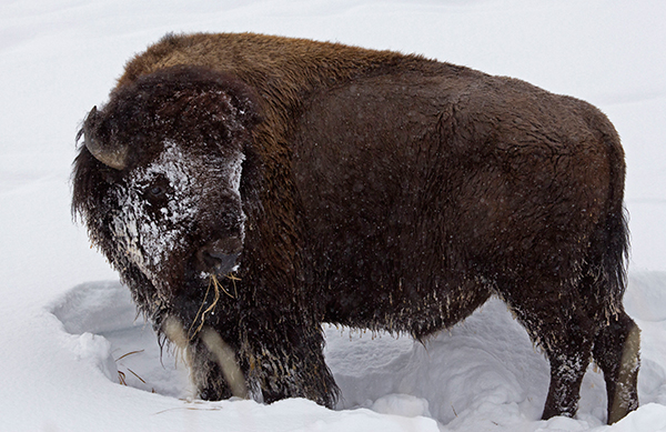Snow-crusted bison, Candice Gaukel Andrews