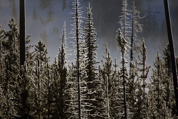 Yellowstone winter trees, Candice Gaukel Andrews