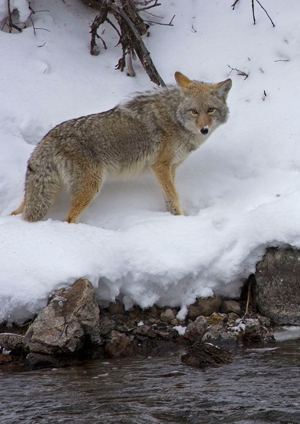 Yellowstone coyote, Candice Gaukel Andrews