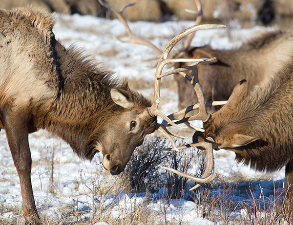Elk sparring, Candice Gaukel Andrews