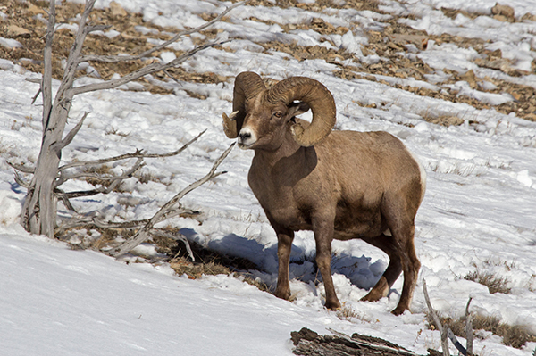 Bighorn sheep, Candice Gaukel Andrews