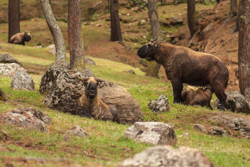 The takin (Budorcas taxicolor whitei), Bhutan's national animal, is most closely related to the Arctic musk ox. © Rachel Kramer
