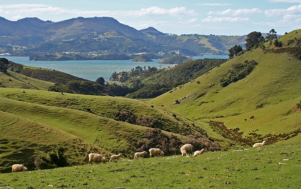 There are more sheep than people in New Zealand. While the population is estimated at about 4.5 million, the number of sheep is at about 29.6 million, meaning that there are about six sheep per person. ©Candice Gaukel Andrews