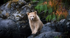 Rare and Adorable Spirit Bear Cub Spotted