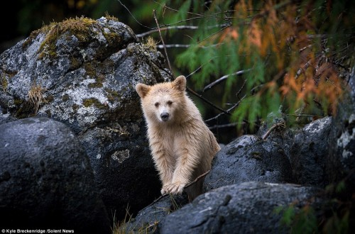 24502BF300000578-2889922-The_adorable_little_white_bear_cub_appeared_to_be_around_eight_m-a-2_1419857512792