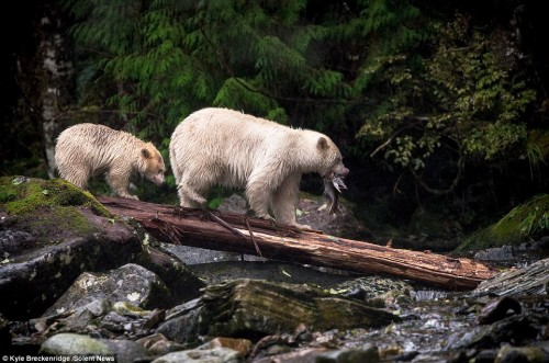 24502DEC00000578-2889922-The_adult_mother_bear_catches_a_large_salmon_to_take_home_for_he-a-3_1419857512799