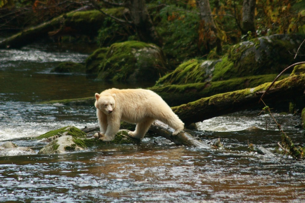spirit bear, Great Bear Rainforest, British Columbia