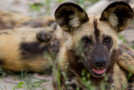 Should We Vaccinate Wild Animals for Canine Distemper Virus?