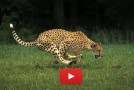 Video: Slow-Motion Capture of a Running Cheetah