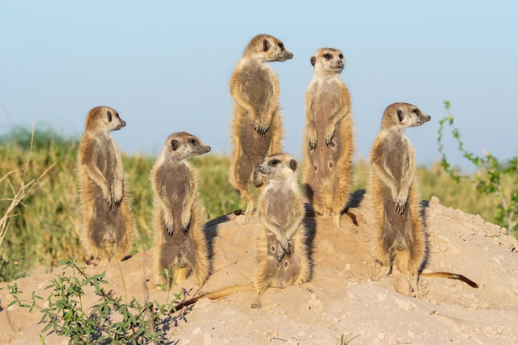 A meerkat family basks in the early morning sun. © WWF-US/Rachel Kramer