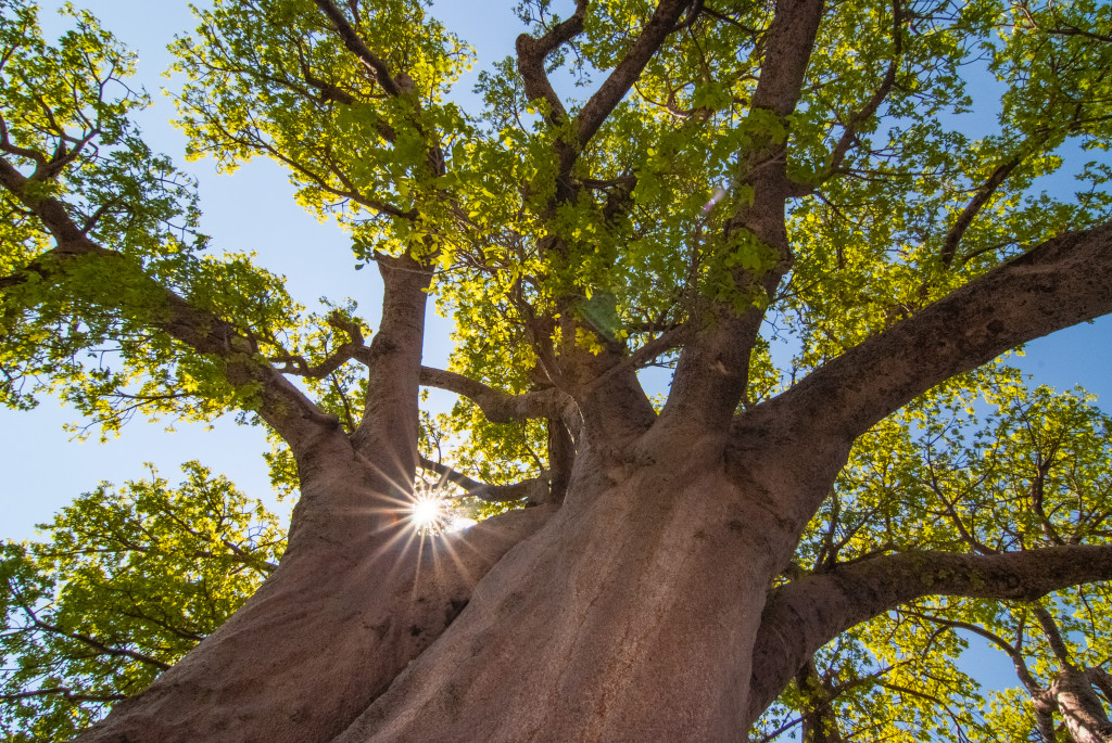 A towering baobab in the Kalahari. © Rachel Kramer/WWF-US