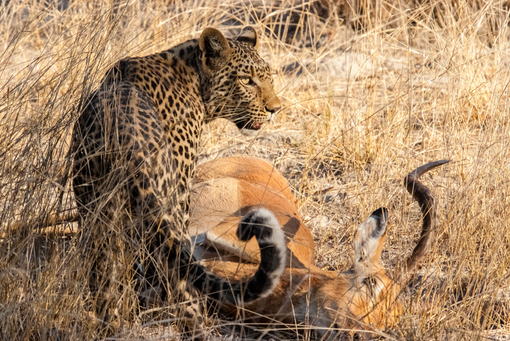 A young female leopard guards her kill in the Okavango delta. © Rachel Kramer