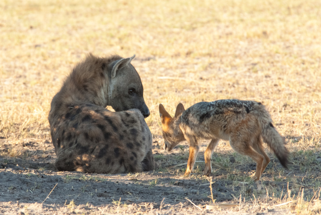 Face-off between a spotted hyena and a black-backed jackal in the Okavango delta. © WWF-US/Rachel Kramer
