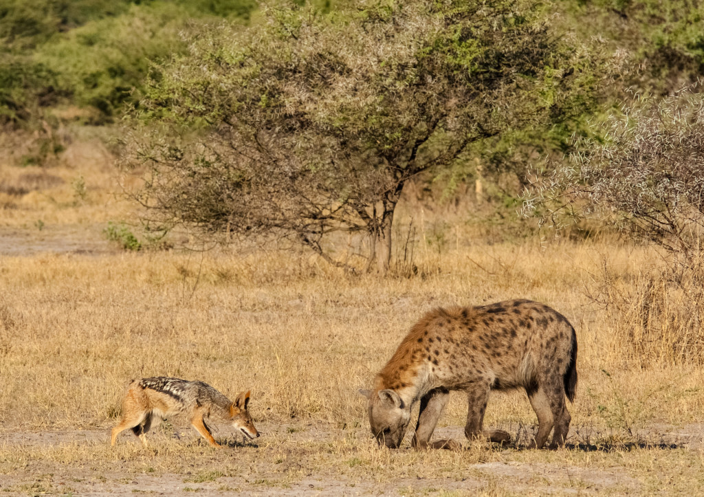 A black-backed jackal bravely herds a spotted hyena far away from its den. © WWF-US/Rachel Kramer