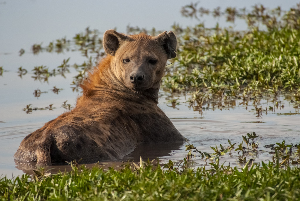 An adult spotted hyena cools off in a flooded pool in the Okavango delta. © WWF-US/Rachel Kramer