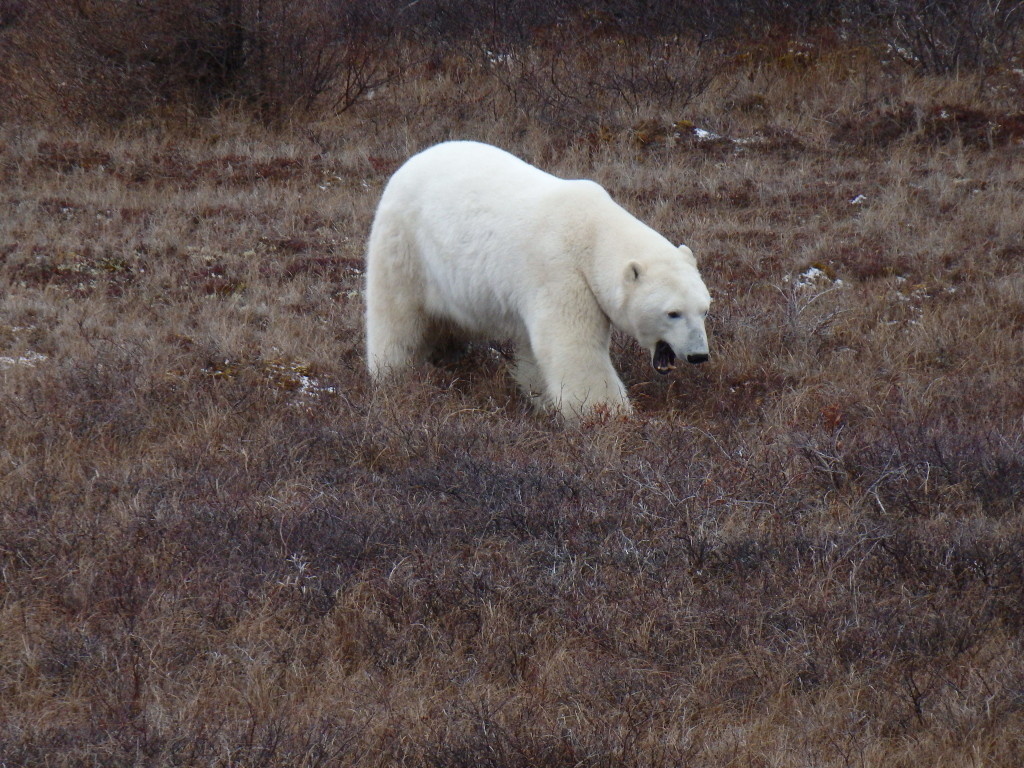 polar bear yawning on Tundra in Churchill