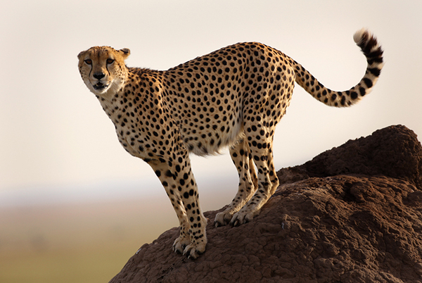 From spine to skull, a cheetah's body is perfectly designed for running. ©Eric Rock