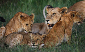 The canine distemper virus has even found its way into populations of Serengeti lions. ©Eric Rock