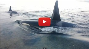 Video of the Week: Orcas In Search Of the Perfect Belly Rub