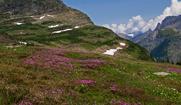 At Logan Pass in summer, flowers—and snow—decorate an alpine meadow. ©Candice Gaukel Andrews